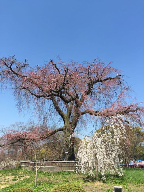 円山公園の大きな枝垂れ桜